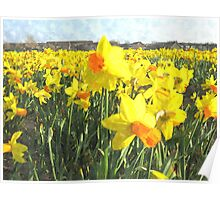 Field with yellow Daffodils in Holland Poster