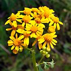Golden Ragwort by BluePhoenix