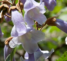 Princess Tree Blossoms Closeup by BluePhoenix