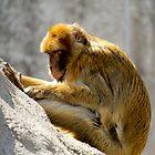 Barbary Ape by Rebecca Reist