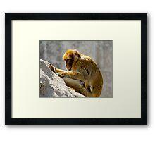 Barbary Ape Framed Print
