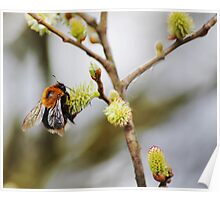 Bumblebee collects nectar Poster