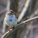 an American Tree Sparrow by michelsoucy