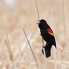 Singing Redwing Blackbird by michelsoucy