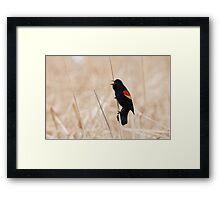 Singing Redwing Blackbird Framed Print