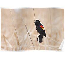 Singing Redwing Blackbird Poster