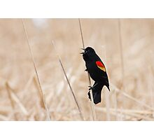 Singing Redwing Blackbird Photographic Print