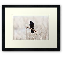 Common Grackle on a cattail reed Framed Print