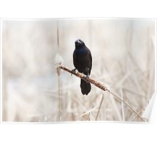 Common Grackle on a cattail reed Poster