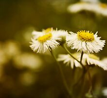 Common Fleabane: Not so Common Looking by Cynthia Broomfield
