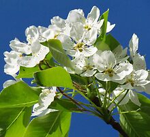 Sweet Pear Tree Blossoms by lorilee