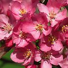 Apple Blossom Time by lorilee