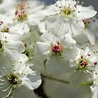 Bradford Pear Flowers in a midwestern U.S. town by tdash