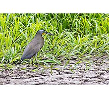 Bare-throated Tiger-Heron Photographic Print
