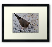 Mourning Dove Eating Framed Print