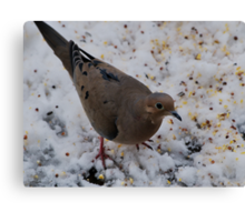 Mourning Dove Eating Canvas Print