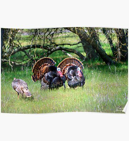 Male Turkeys Poster