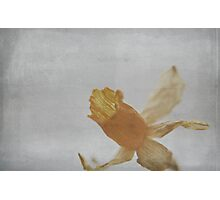 Dried Daffodil Photographic Print