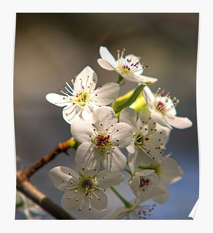 Pear Tree Spring Blossoms  Poster