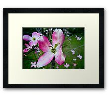Pink Dogwood Blossom with a Twist Framed Print