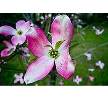 Pink Dogwood Blossom with a Twist Photographic Print