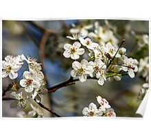 Flowering Pear Tree  Poster