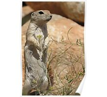 Round-tailed Ground Squirrel ~ Mommy Alert Poster