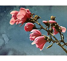 Magnolias - Van Dusen Botanical Garden Photographic Print