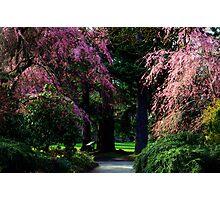 Cherry blossoms in spring -Van Dusen Botanical gardens Photographic Print