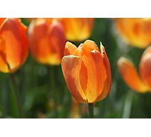 Orange yellow tulips Photographic Print