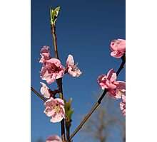 Blossoms & Blue Sky Photographic Print