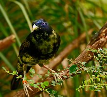 Bowerbird #2 by Sea-Change