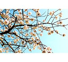 Blossoms - Kew, London Photographic Print