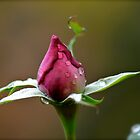 Beautiful Budding Rose by Alison Hill
