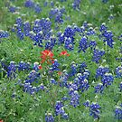 Field of bluebonnets by KRees