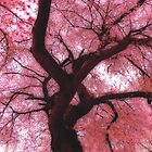 Under the cherry tree by Robin Simmons