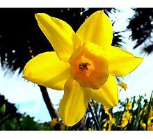 Daffodil Bright. Photographic Print