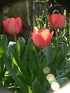 Tulips in sparks.... by LisaBeth