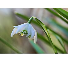 Double Snowdrop Photographic Print