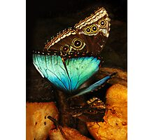 Two sides of Blue Morpho butterfly Photographic Print