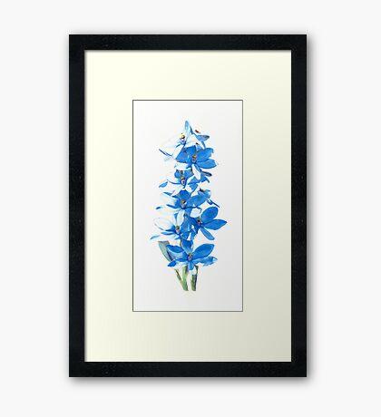Blue Lady Orchid (Thelymitra crinita) Framed Print