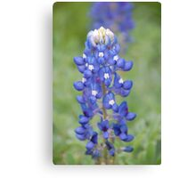 Bluebonnets bring spring to Texas Canvas Print