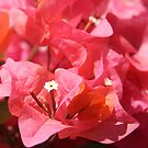 Pink Bougainvillea by Emma Holmes