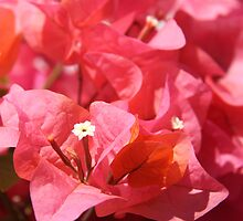 Pink Bougainvillea by Emma Holmes