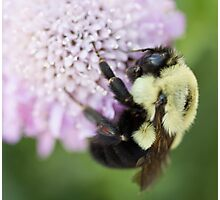 Bumble Bee close up Photographic Print