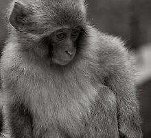 Now where did I put my toys? Snow Monkeys by Norman Repacholi