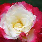 Double Delight Hybrid Tea Rose by Robert Armendariz