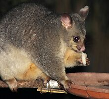 Young Female Brushtail Possum Eating by Carole-Anne