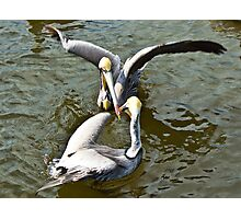 Pelican fight Photographic Print