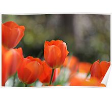 Red orange tulips Poster